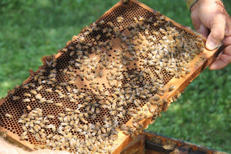 Les populations d'abeilles en forte décroissance.... (Janick Marois)