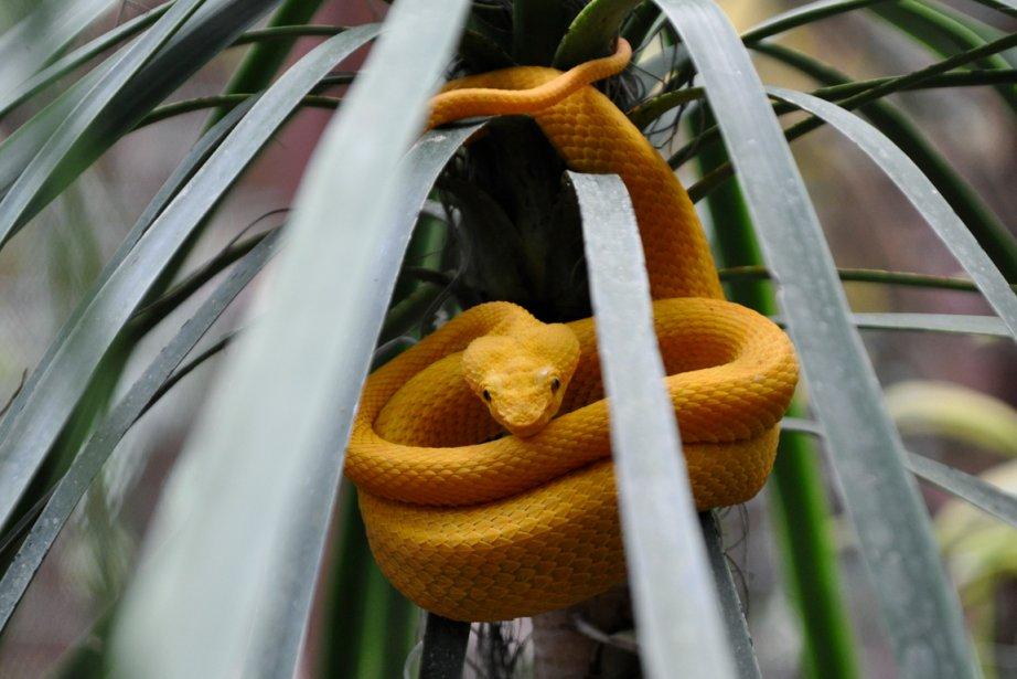 Un serpent jaune dans le parc national de Cahuita (Photo Bénédicte Millaud, La Presse)