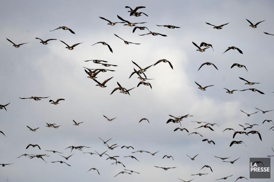 Seuls deux groupes d'oiseaux, les rapaces et les... (Archives, La Presse)