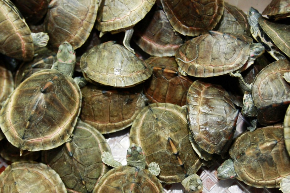 Selon un communiqué des douanes, 423 tortues rayonnées,... (PHOTO D'ARCHIVES)