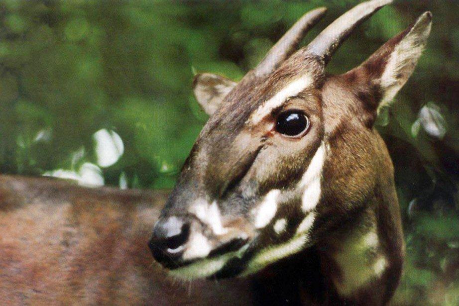 Identifié en 1992, le saola est le plus... (PHOTO AP/WWF)