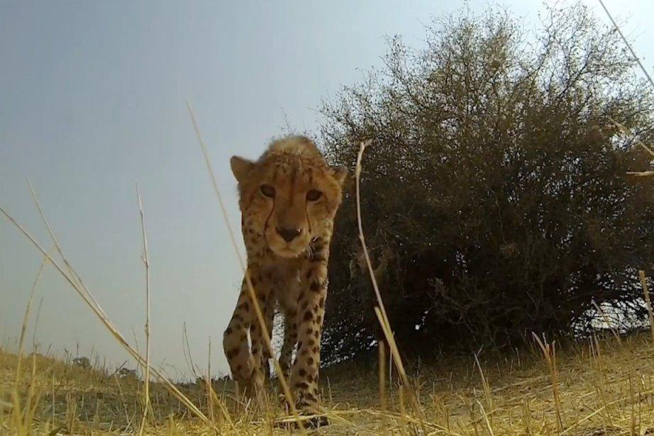 Un guépard s'approche d'une GoPro.... (IMAGE TIRÉE DE YOUTUBE)