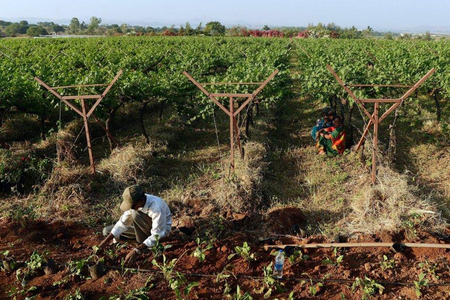 Un homme travaille au vignoble deSula Vineyards,dans la... (PHOTO PUNIT PARANJPE, AGENCE FRANCE PRESSE)