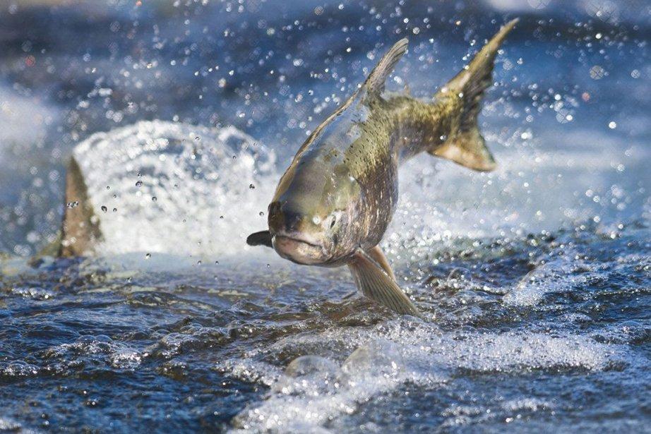 Le numéro un mondial de l'élevage de saumon, le norvégien... (Photo archives AP)