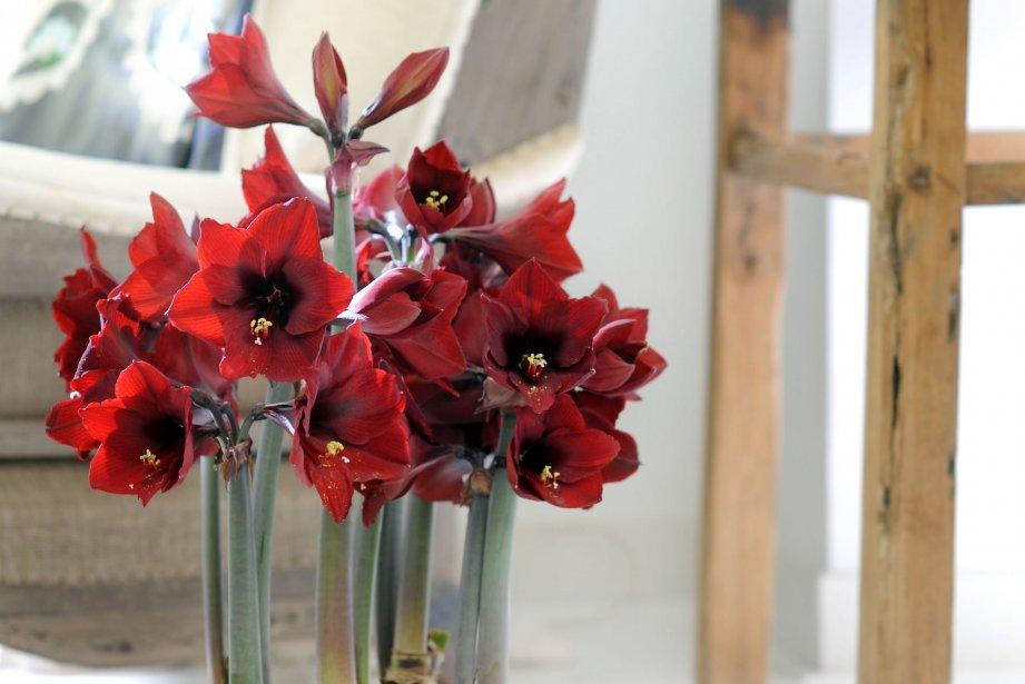 plante d 39 int rieur du mois l 39 amaryllis d coration. Black Bedroom Furniture Sets. Home Design Ideas