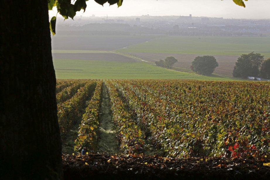 Des vignobles en Champagne.... (Photo AP)