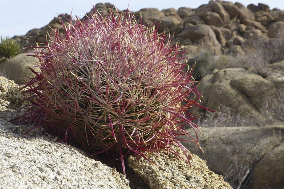 Ces charmants cactus de 30 cm de diamètre sont appelés «cottontop». (Photo Pierre Gingras, La Presse)