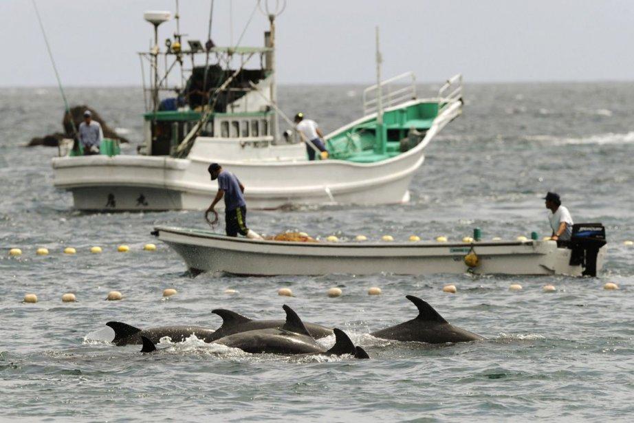 La chasse aux dauphins consiste à rassembler des... (PHOTO ARCHIVES AP/KYODO NEWS)