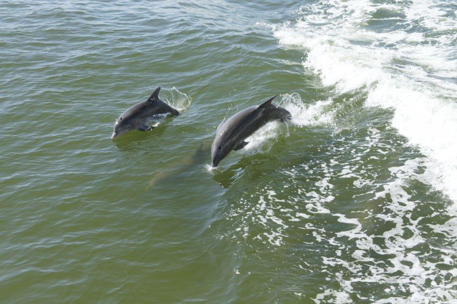 En route vers Cabbage Bay, les dauphins ne se font pas prier pour se donner en spectacle. (PHOTO MARIE-EVE MORASSE, LA PRESSE)