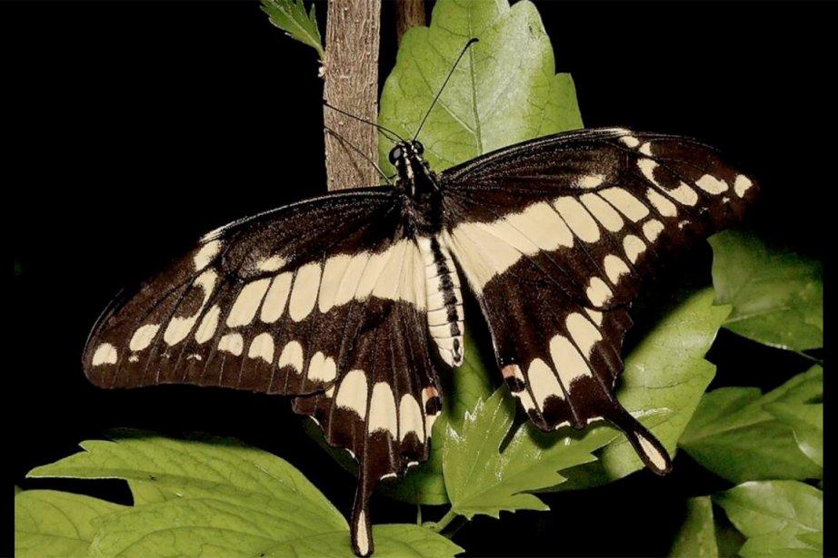 Le grand porte-queue, le plus grand papillon d'Amérique... (PHOTO FOURNIE PAR CHRISTER JOHANSSON)
