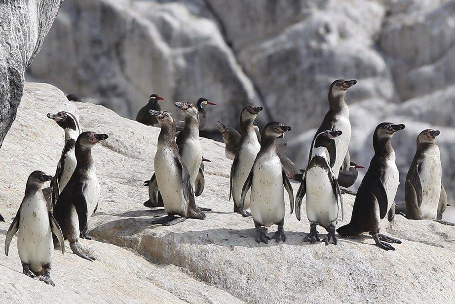 Les manchots de Humboldt sont menacés de disparition... (Photo Enrique Castro-Mendivil, Reuters)