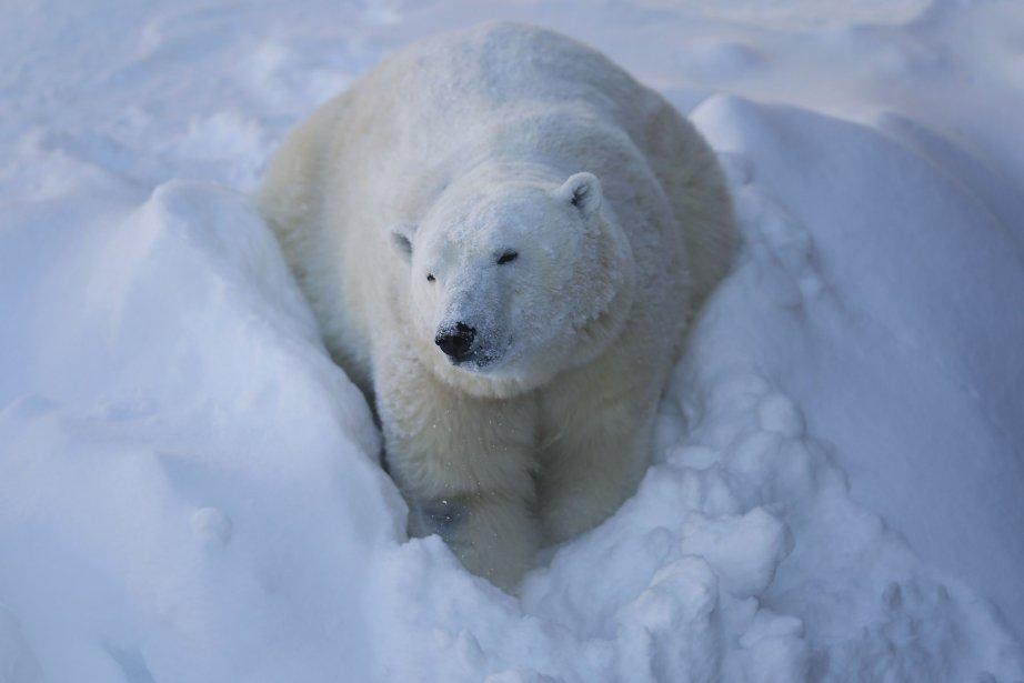 Actuellement, la limite volontaire est de 60 ours... (Photo MATHIEU BELANGER, Reuters)