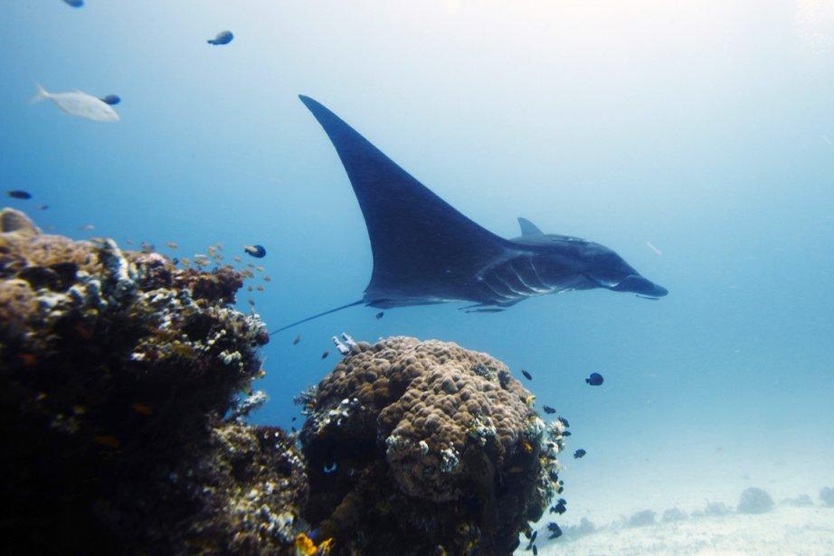 Pourvues d'immenses nageoires en forme d'aile, les raies... (PHOTO HERMAN HARSOYO, AP)