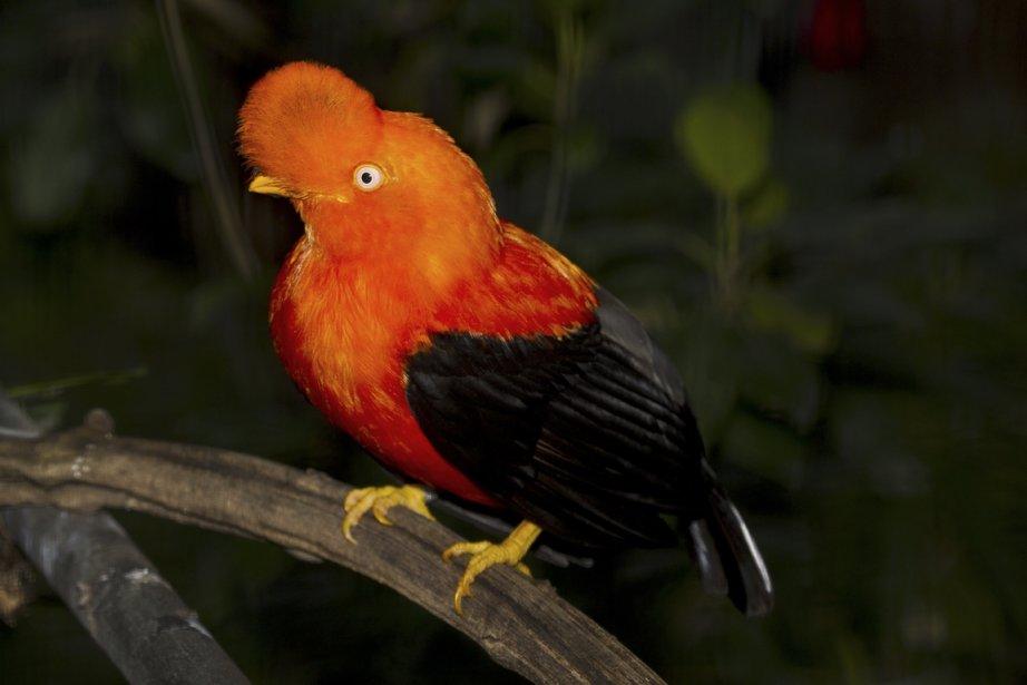 Originaire des Andes, le coq de roche présente une livrée spectaculaire. (Photo fournie par le San Diego Zoo)