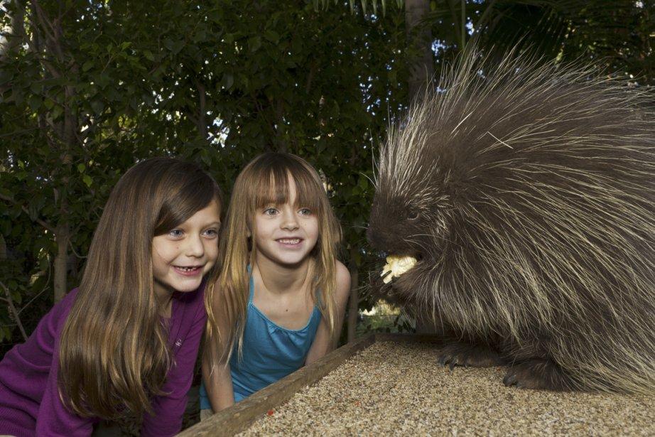 Une partie du jardin zoologique de San Diego a été aménagé spécialement pour les endants. Ce porc-épic semble les fasciner. (Photo fournie par le San Diego Zoo)