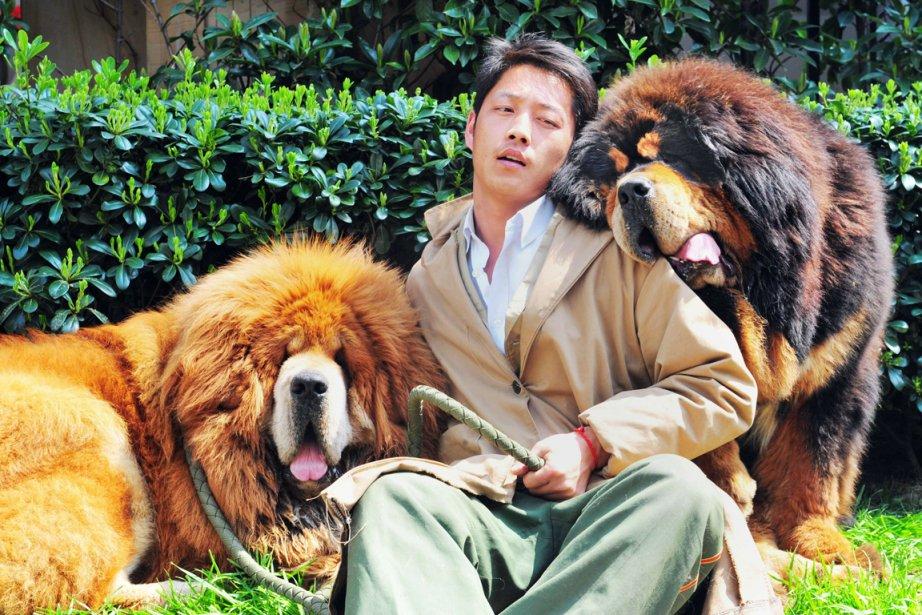Les mastiffs du Tibet sont souvent comparés à... (Photo AFP)