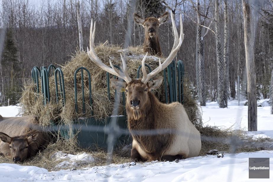 De passage au Saguenay, les visiteurs ont parfois la chance de croiser des...