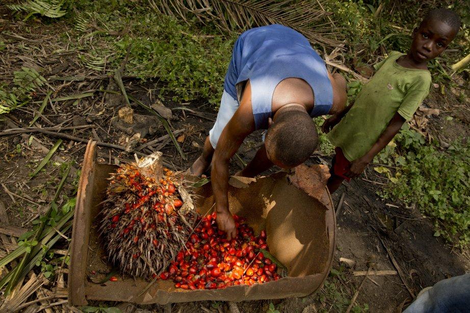 Joseph Cheo Johnson, qui cultive sa propre palmeraie dans le comté de Grand Bassa, à l'est de Monrovia, s'oppose aux projets d'expansion de l'Equatorial Palm Oil. Il observe ici les noix de palme récoltées dans sa plantation. (Photo David Boily, La Presse)