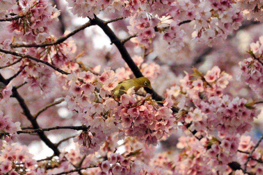 Symbole s'il en est du printemps japonais, la... (Photo Yoshikazu TSUNO, AFP)
