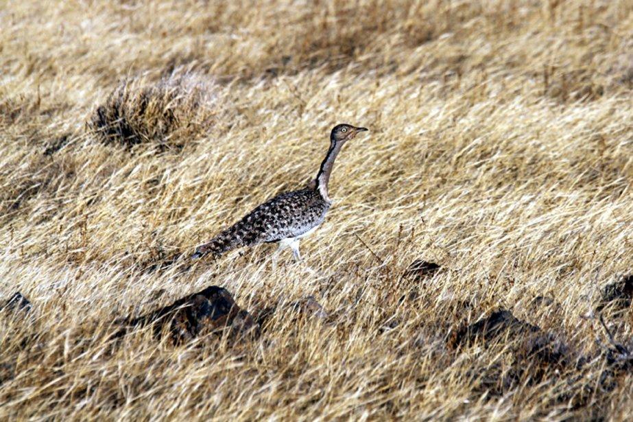 La chasse à l'outarde houbara, prisée par les... (PHOTO WIKIPÉDIA)