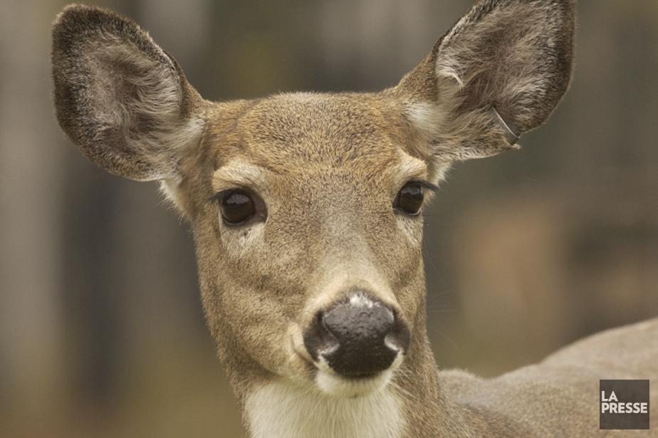 Un cerf de Virginie.... (PHOTO ALAIN ROBERGE, ARCHIVES LA PRESSE)