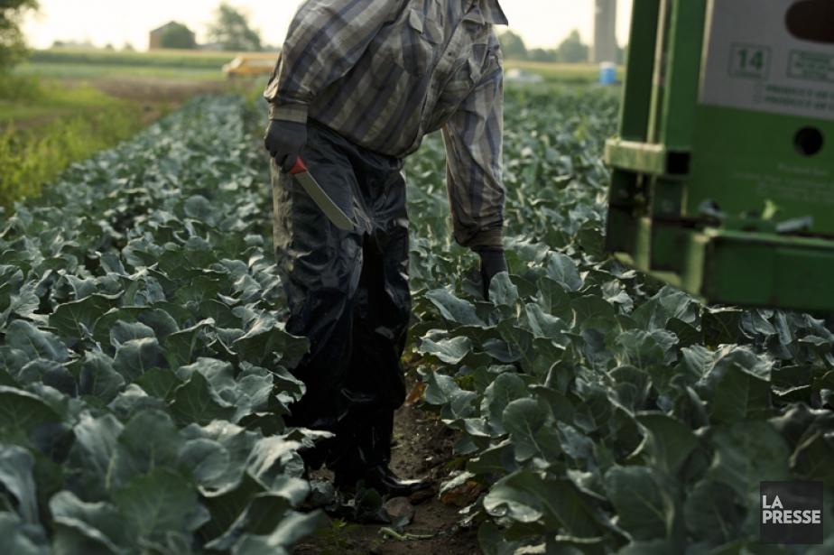 Les travailleurs agricoles saisonniers sont exempts des nouvelles... (Photo Ninon Pednault, archives La Presse)