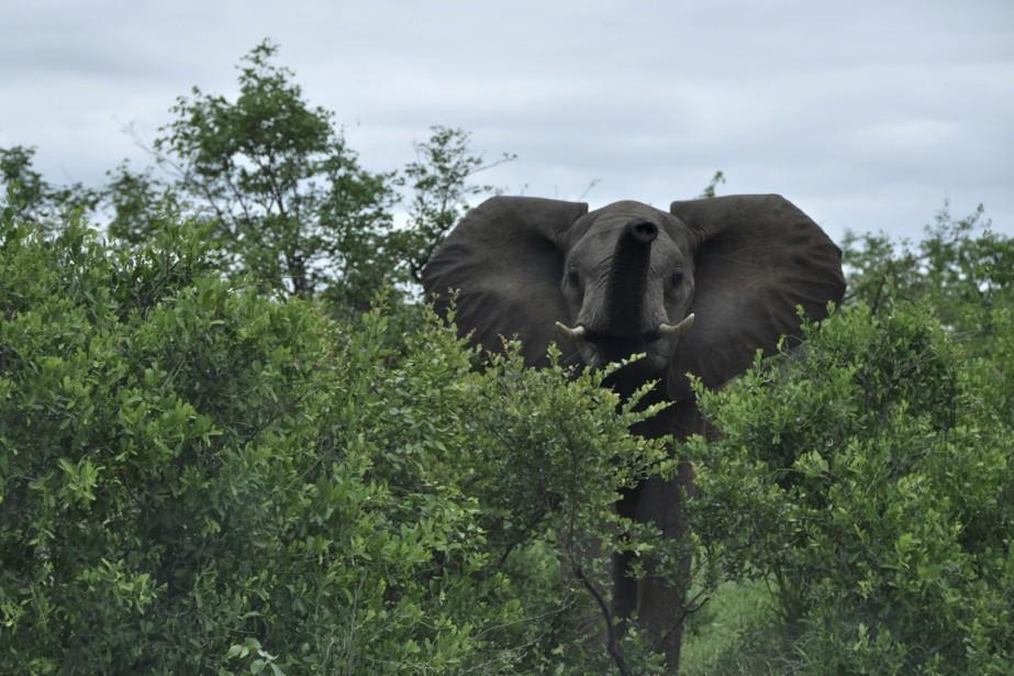 Nous avons été particulièrement gâtés, en matière de présence éléphantesque. (Photo Sylvie St-Jacques, La Presse)