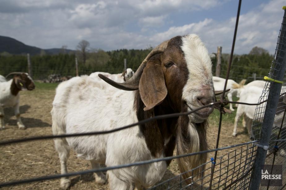 Les propriétaires de la Chèvrerie Barbe Bouc, qui compte un troupeau de 45 chèvres, mettent notamment de l'avant ses produits faits à base de chevreau, une viande quelque peu boudée au Québec. (Photo Hugo-Sébastien Aubert, La Presse)