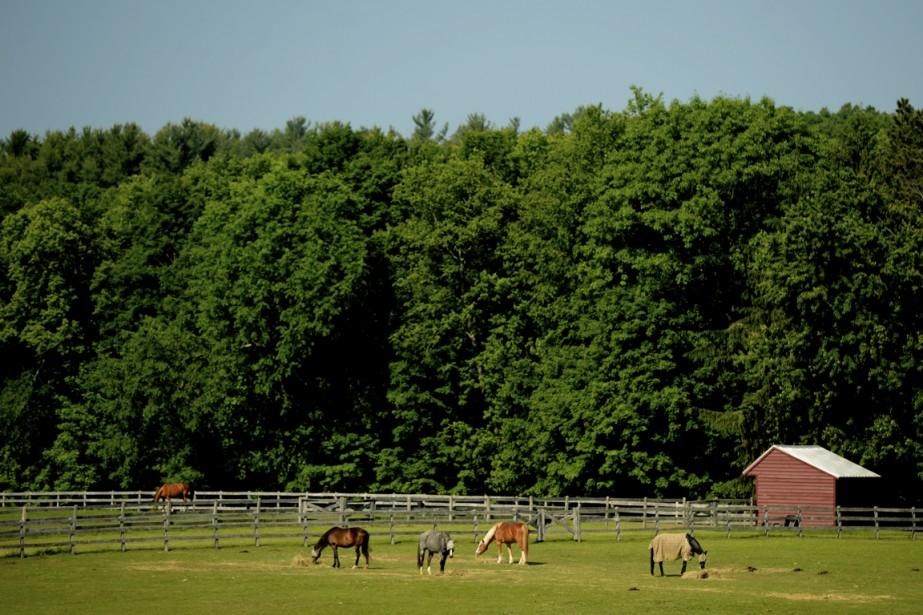 Les chevaux vivent à l'extérieur, été comme hiver. (Photo Bernard Brault, La Presse)