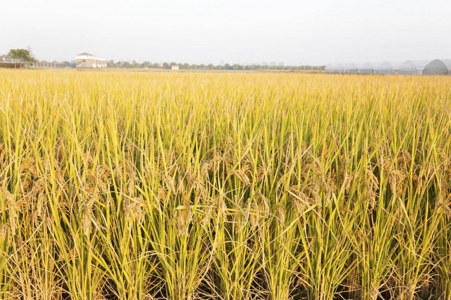 Le riz doré peut, à raison d'un bol... (Photo Digital/Thinkstock)