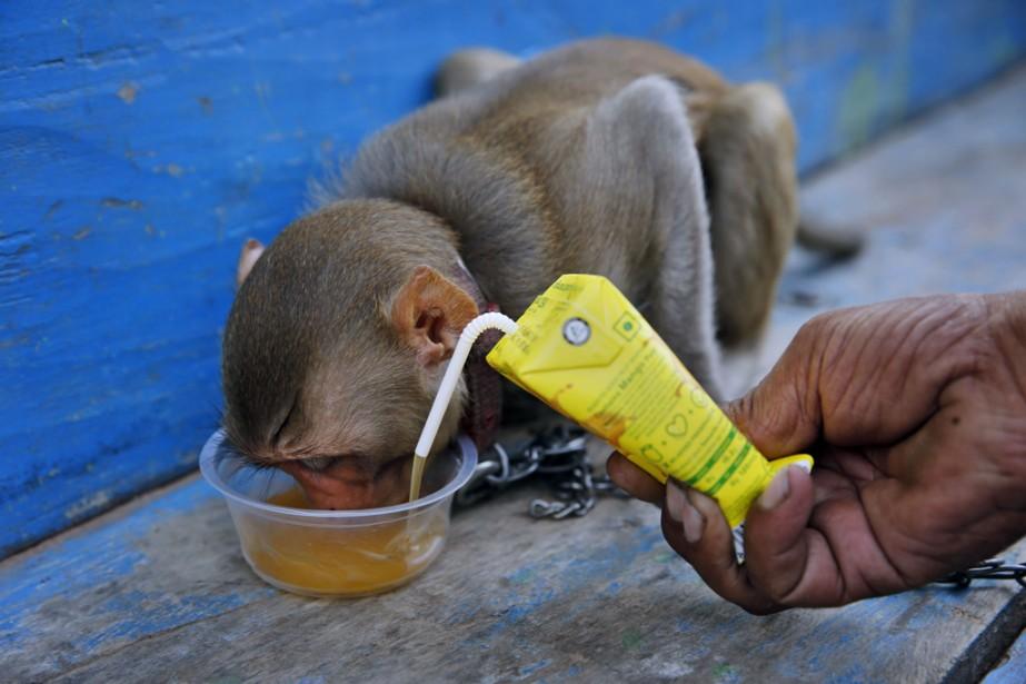 Un conducteur de rickshaw nourrit son singe de compagnie avec du jus de fruits, à Allahabad, en Inde. | 20 juin 2014