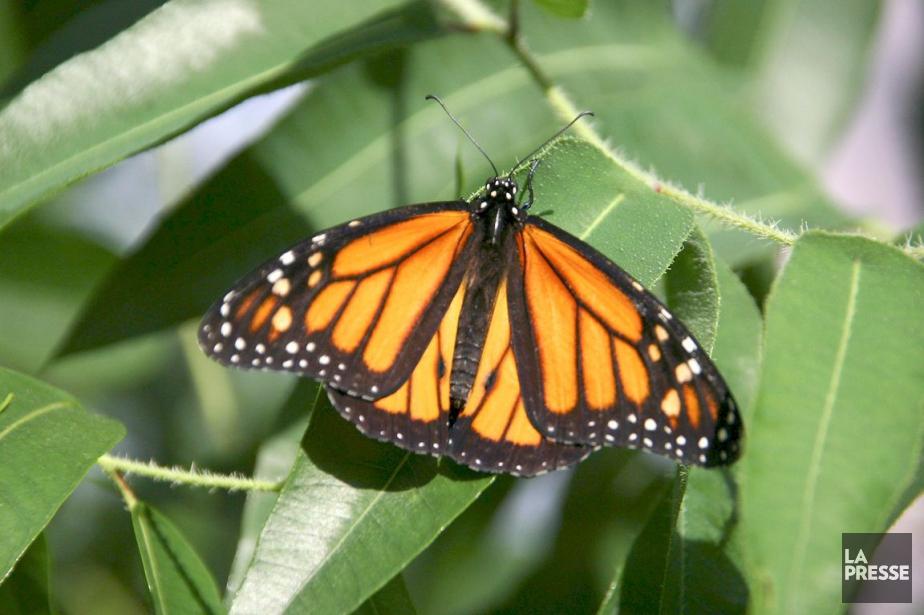 Des millions de papillons Monarques orange et noir... (PHOTO ARCHIVES LA PRESSE)