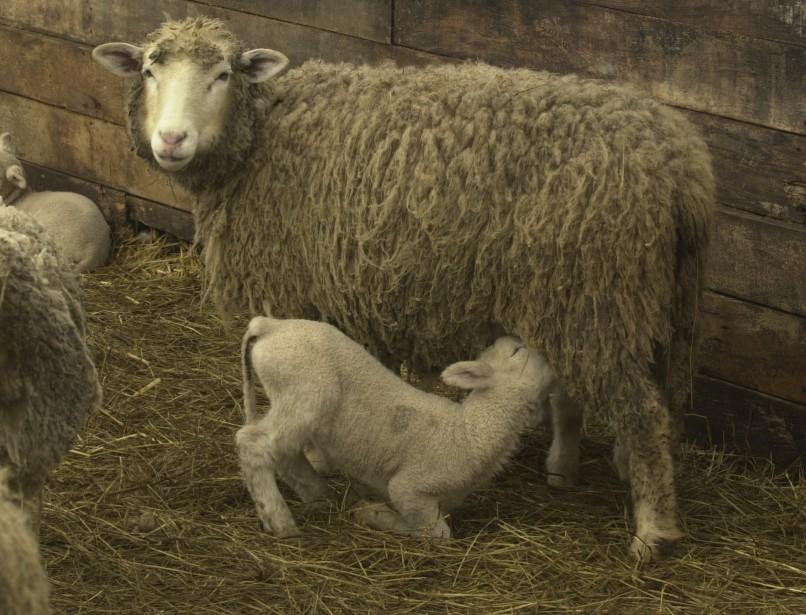 L'agneau de Charlevoix, la seule appellation réservée attribuée au Québec à ce jour. (PHOTO ARCHIVES LA PRESSE)