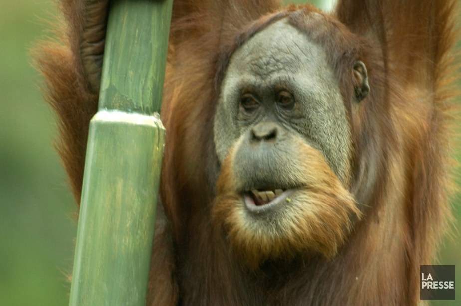 Un orang-outan en cage, en transit... (Photo Bernard Brault, archives La Presse)