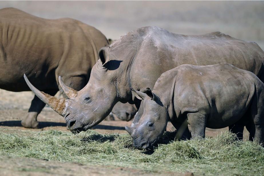 Sur 588 rhinocéros abattus illégalement sur les six... (PHOTO STÉPHANE DE SAKUTIN, ARCHIVES AFP)