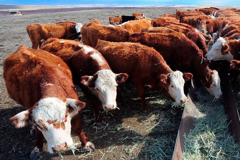 L'élevage de bétail destiné à la consommation contribue... (Photo Frederic J. Brown, archives Agence France-Presse)