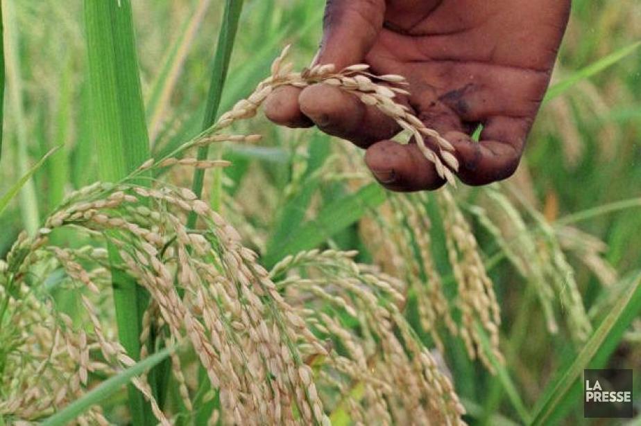 Le riz africain résiste mieux à la sécheresse... (Photo Archives La Presse)
