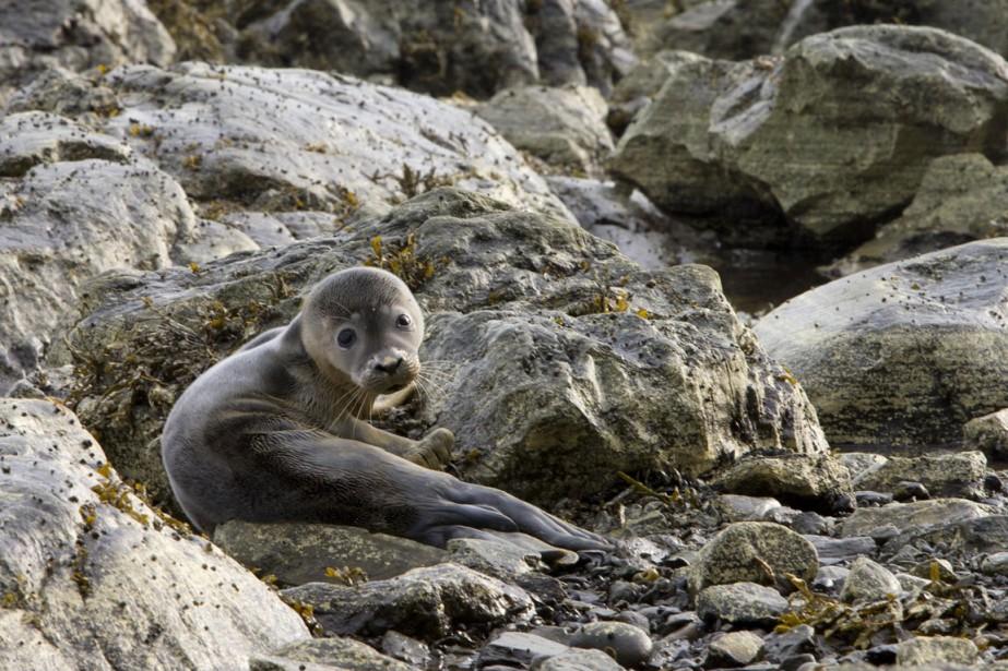 Un blanchon attend sa mère, partie pêcher, sur les rochers du sentier La Grève. (Photo Alain Roberge, La Presse)
