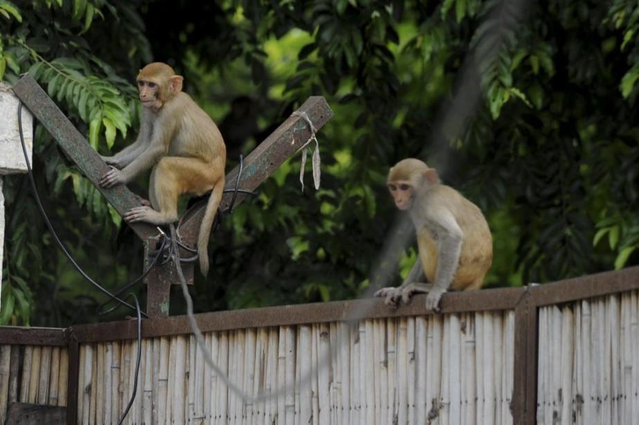 Le gouvernement indien a recruté des «hommes-singes» pour... (PHOTO SAJJAD HUSSAIN, AFP)