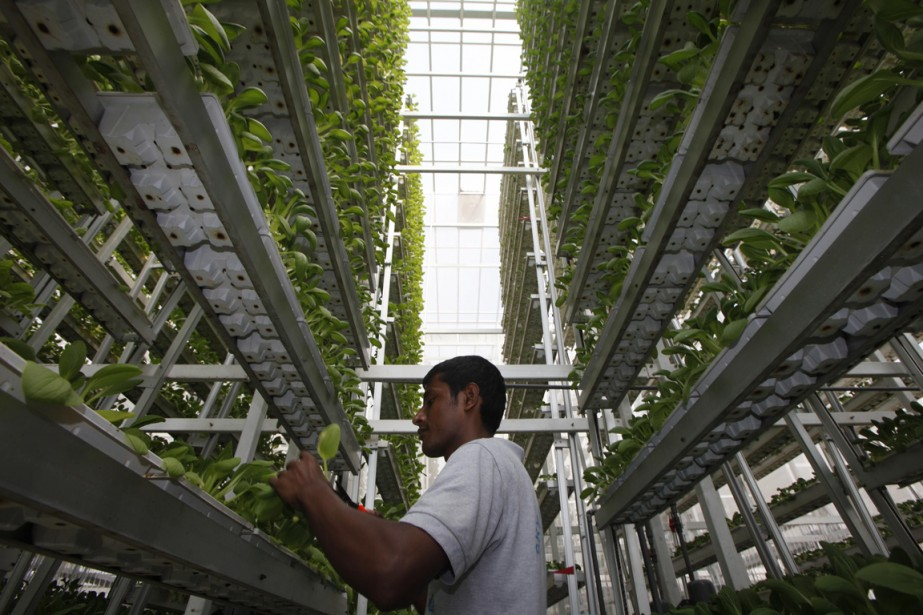 Un travailleur examine des pousses dans une serre... (Photo Edgar Su, Reuters)