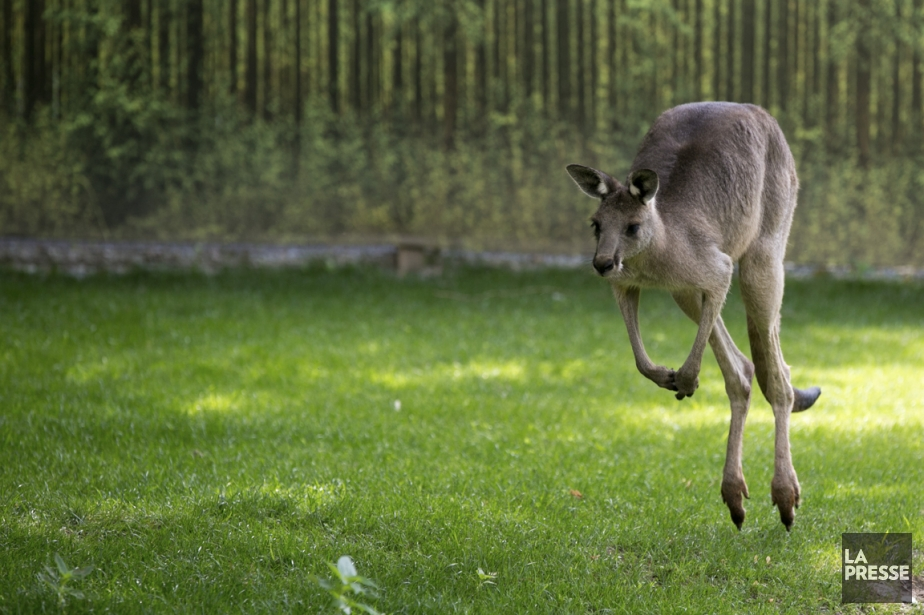 Il est possible de voir des kangourous, animal emblématique de l'Australie, au Zoo de Granby. (Photo François Roy, La Presse)