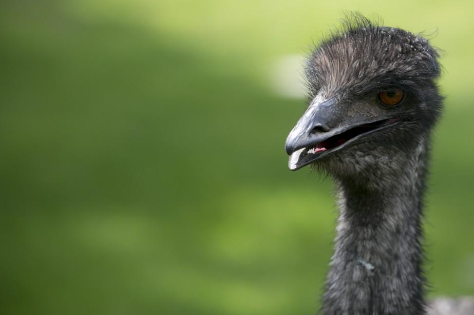 En plus des kangourous, on peut également apercevoir des émeus au zoo. (Photo François Roy, La Presse)