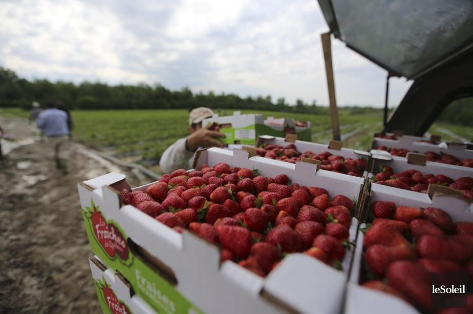 S'il y a eu dépérissement de certains fraisiers... (Photothèque Le Soleil)