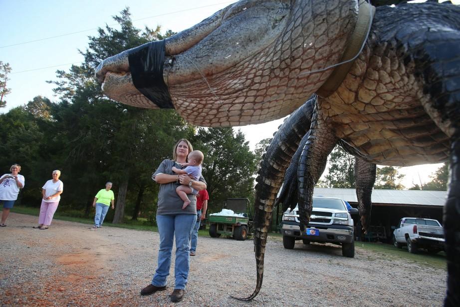 L'alligator mesure 4,5 mètres et pèse plus de... (Photo Sharon Steinmann, AP)