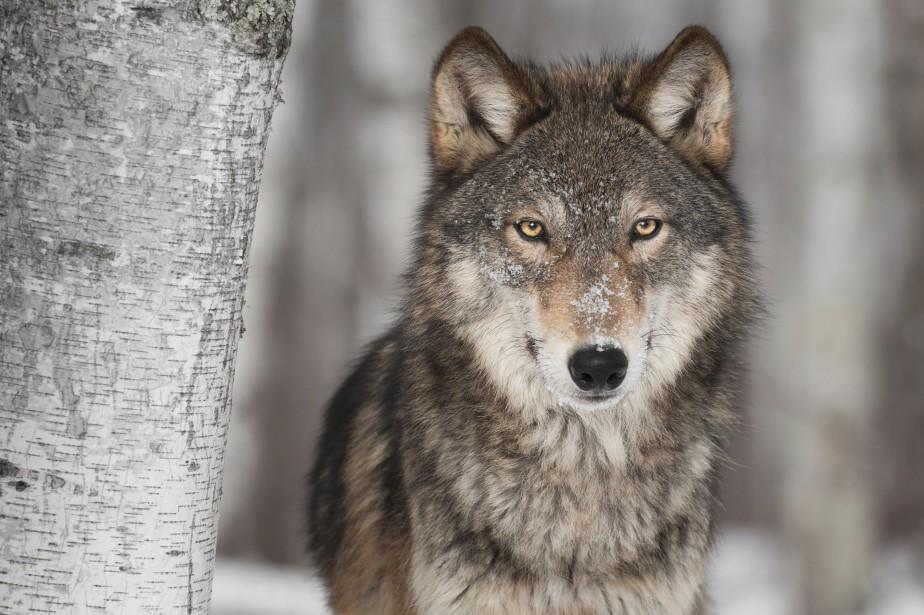 Bien que le nombre de loups étudiés soit... (Photo Digital/Thinkstock)