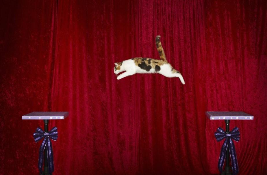 Alley, un chat américain, a réalisé un saut de 1,83 mètre, le plus long de l'histoire. (Photo AFP)
