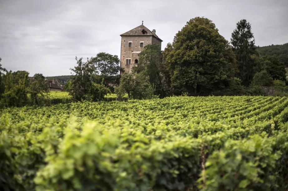 Dans les vignes bourguignonnes, les vendangeurs s'activent depuis... (Photo JEFF PACHOUD, AFP)
