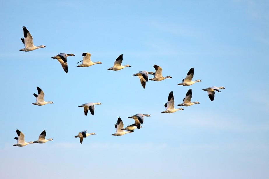 Des oies peuvent économiser de 10 à 14%... (Photo Shutterstock, Delmas Lehman)
