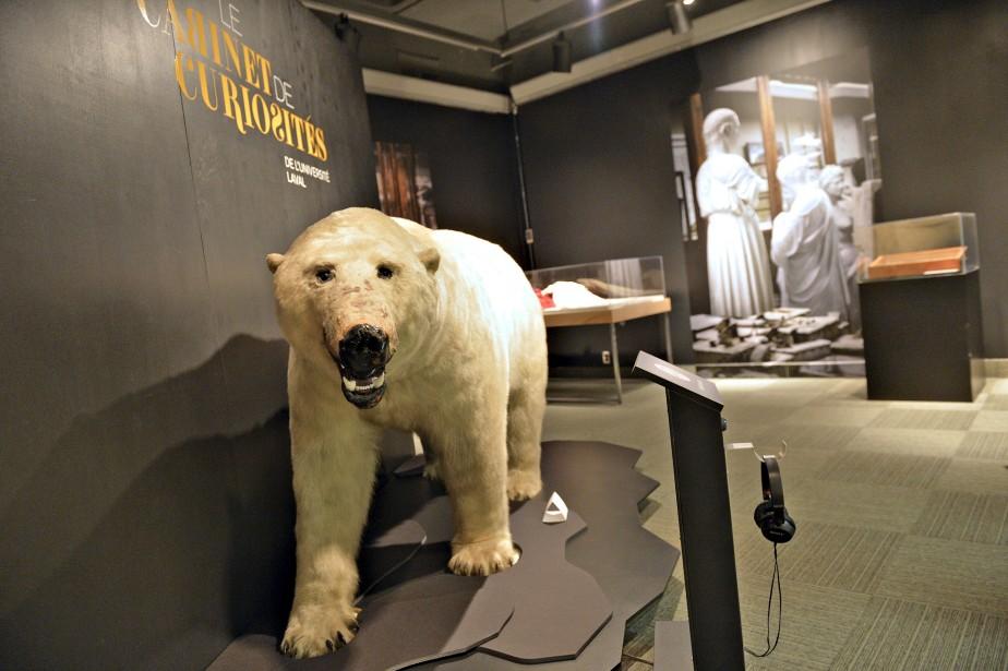 Spécimen mâle d'un ours polaire (<i>ursus maritimus</i>) de la famille des <i>ursidae</i>. Pensionnaire au Jardin zoologique de Québec depuis 1936, la bête a été abattue en 1942 lors d'un triste accident au cours duquel le gardien des trois ours a perdu la vie. Don du Musée du Québec (années 1970). Collections de l'Université Laval (Le Soleil, Pascal Ratthé)