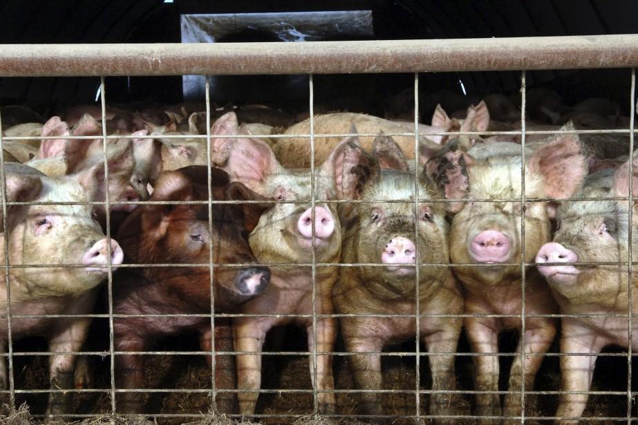 Certaines bêtes peuvent être transportées pendant 52 heures... (Photo Will Kincaid, AP)